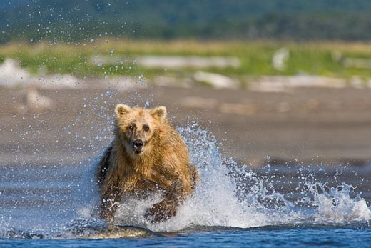 A bear runs after salmon, Al Vinjamur (New York, NY), Photographed August 2007, Hallo Bay, AK
