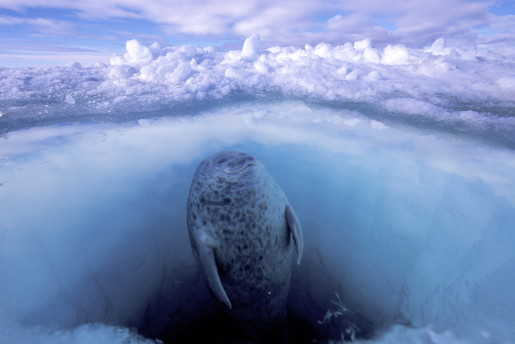 Paul Nicklen, Canada, National Geographic Magazine