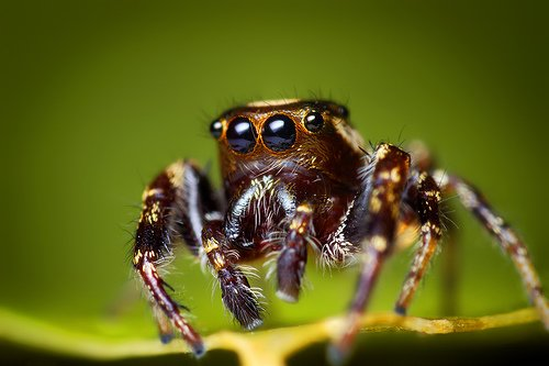 Male Bronze Lake Jumper Jumping Spider