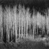 Aspens - Ансел Эстон Адамс (Ansel Easton Adams)