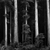 Redwoods, Bull Creek Flat, Northern California, 1959 - Ансел Эстон Адамс (Ansel Easton Adams)